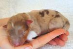red-merle-H2
