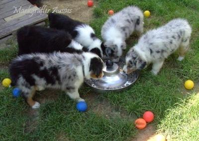 Pedigree Kira Soulwind Australian Shepherds