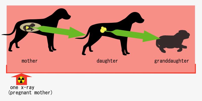 roentgenbild-traechtigkeit-hund schädlich
